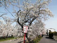 おっ、ぼんぼりが現れました。なんと1発目は「三八」~。なかなかの評判の焼肉屋です。そんなことはどうでもよく、岡﨑公園の桜まつりはよく知られていますが、実際は岡﨑公園と伊賀川桜堤を合わせての桜まつりとなっています。