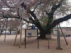 桜の名所で土日は解放しているとの情報があったので、やってきた。