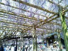 神社の境内には広大な藤棚が巡らされています。