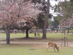 公園の端、ホテルから一番近いところで鹿とご対面します。入り口の鹿せんべい売りはもう終わっています。道路の反対側に行きましょう。