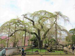 すっかり葉桜になってしまった「清雲寺のしだれ桜」に多少意気消沈しながら、