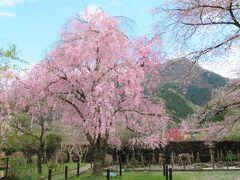 清雲寺から東へ0.9km行った所にある、秩父霊場札所第29番「笹戸山長泉院」の桜を見てきました。