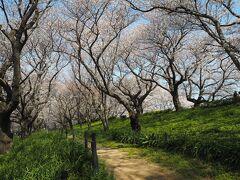 2021年3月27日 桜と菜の花の景色が有名な権現堂桜堤へやってきました。