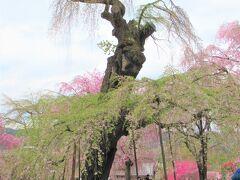 樹齢600年になるというエドヒガン桜の一番の古木もこんな感じでした。 高さ15mで県内でも最大規模のエドヒガン桜です。