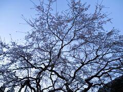 まずは地元、萩のシダレザクラの名所、南明寺に夜明け前に立ち寄り、桜を鑑賞する。