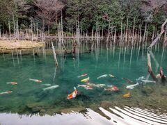 隠れた絶景、一の俣桜公園・蒼霧鯉池で埋没林と澄んだ湖を泳ぐ鯉に癒される。