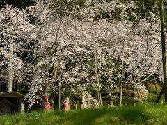 再度、地元萩市に戻り南明寺でピークを迎えた桜をじっくり愛でる。