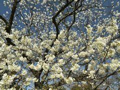 今日のプチ旅行の締めに、指月公園で萩市にしか咲かないミドリヨシノを見て心和む。