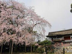 清瀧宮本殿と枝垂桜の巨木。