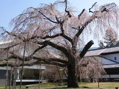 霊宝館前の深雪桜。これが一番有名な「醍醐大しだれ桜」ですが、樹齢180年を超えて、樹勢が衰えてきているようです。