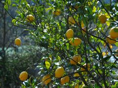 家浦港でレンタサイクルを借りていざ出発。 レモンが栽培されていました。