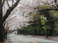 翌日も良い天気! 桜並木で有名な伊豆高原桜並木通りに来ました。