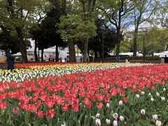 横浜公園は、チューリップでいっぱい。