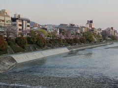 夕日を浴びる川端通りの桜。三条大橋からの眺めです。