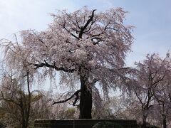 枝垂桜も満開。