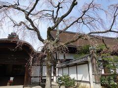 集会堂を出たところにも枝垂桜。こちらはまだ開いていません。