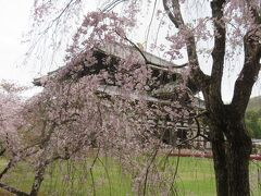 枝垂桜と大仏殿。良い感じ