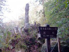 翁杉 縄文杉の次に太かったらしいですが、2010年に倒れてしまいました 残ってる部分だけ見ても、でかい杉だったことが想像できます