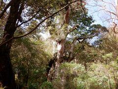 現在は根の保護のため、デッキからしか見れません 直径5.2mだから多分大きいんでしょうが、他の木もあるし、遠くに見えるのでイマイチ実感が(。´・ω・)?