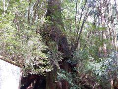 解説を見た後でも、どこが何代目なのか不明  屋久杉は成長が遅く、脂分が多いそうです なので、腐りにくいんだとか それで、何代も何千年も生きれるんですね