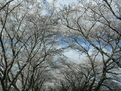 平筒沼から15分程で みなみかた千本桜へ。 6kmもある道路なので、 ナビに、南方郵便局を入れて 走ってきました。 向かっていると 桜並木が見えて来ます。