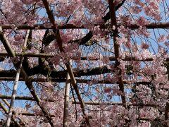 神苑で咲くのは「紅しだれ桜」、名前の通り色が少し濃いめできれい!