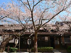 脇本陣を警固するかのような桜の木。このエリアの標本木だ。