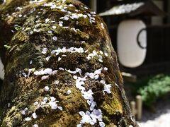 桜の古木に花びらが