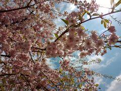 阿夫利神社の桜が満開でした。 標高700m阿夫利神社下社からの展望は、ぼんやりと霞んではいましたが、伊勢原市街地の向こうに広がる相模湾、江ノ島、三浦半島が見えました。