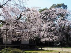 満開のしだれ桜に包まれた清瀧宮