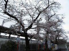 2021.03.21 石清水八幡宮 桜がきれいな季節。天気は相変わらず残念だが…