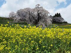 駐車場から遊歩道を登り、滝桜の正面から。  菜の花とのコラボが綺麗です。