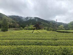 新緑がまぶしい。 茶畑が広がる