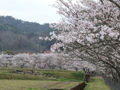 帰り道にもう一カ所、三次市三和町にある「美波羅川の千本桜」に行ってみました。 美波羅川沿いに9キロに渡って、桜が植えられています。 30年ほど前に住民の方の手で植えられたのだそうです。