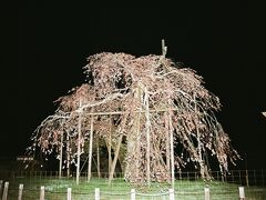 帰りに寄り道をして〝畑のしだれ桜〟に立ち寄った。ストロボの光は強烈だからこうなるが…。