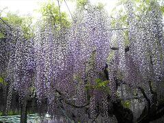 藤の花のアップです。見事です。  今回、初めて「山田日吉神社」に行きましたが予想していたより大きな神社で、清掃も行き届き、境内にも大木、池、水車などがあって、藤も見事。想像していたよりずっつ素晴らしい場所でした。行って良かった!
