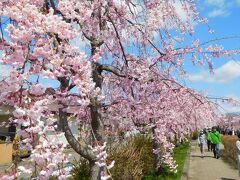 ナビに導かれ喜多方市へ。 花めぐりの旅2日目の最初の目的地は日中線のしだれ桜。 やや駐車するのに時間を要したが、それだけこの陽気に誘われて人出が増えている証拠。 コロナ禍の最中、これは良いんだか良くないんだか・・・