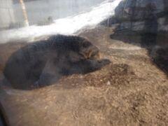 北海道最強の動物、ヒグマです。近くで見ると本当に大きい。 某クマ牧場でも見たことがありますが、あちらはパフォーマンスが面白いですがこちらはまるで人に興味無しと言った感じです。