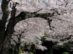初めて桜の名所「哲学の道」へ来ました。 観光客でごった返すイメージだったけど、意外と人が少なくて普通に歩けて良かった!