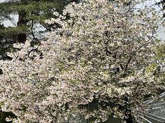 金沢21世紀美術館の散り行く桜を眺めつつ・・・