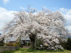 四番目の桜。 松源寺の桜。 今川義元の迫害から逃れてきた井伊直親が幼いころ育ったお寺。 直虎に育てられ徳川四天王と言われた井伊直政の親です。
