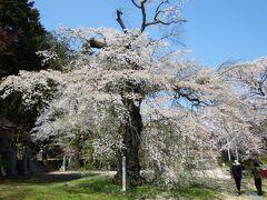 五番目の桜。 此処も以前来た場所です。 満開の桜は未だ見てない。一度は見たい。 前回は桜吹雪が凄かった。 今年は遅かった。
