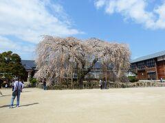 本日最後の桜です。