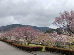 宮城野早川堤の桜並木 早川沿いには桜並木がありました。 残念ながら満開の時期は過ぎていましたが…。