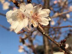 懐古園から大手門を目指して歩くうち、停車場ガーデンで見つけた桜 多分 冬咲きの桜