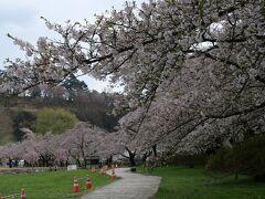 こちらでは桜が見ごろです