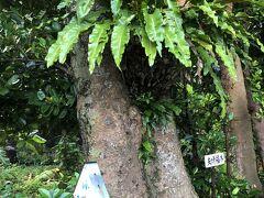 ちょっと見た感じでは枝分かれしたようにみえます。 でも夫婦福木なんてご利益ありそうな名前です。