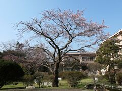 空港から15分ほどで湯の川温泉に到着、ホテルの桜も開花していました。 本日4/19、函館でも桜の開花が発表されたそうです。