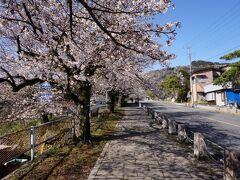 二日目の朝、長瀞、宝登山神社に向かいます。参道は桜並木が続きます。