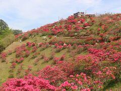 つつじ公園はいま、つつじまつり中。 赤、ピンク、白のつつじが満開です。